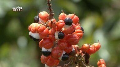 Parte 2: Embrapa desenvolve projeto de 'corredor metropolitano do guaraná' no AM - A ideia é fortalecer o cultivo do fruto e aumentar a produção.