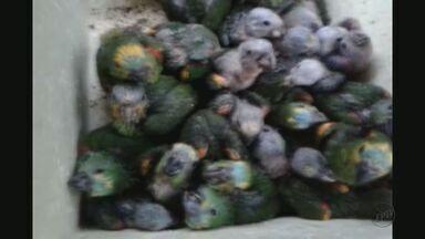Polícia de Araraquara detém trio com 101 aves em porta-malas de veículo - Segundo a Polícia Militar, uma mulher e dois homens receberão multa de quase R$1 milhão.
