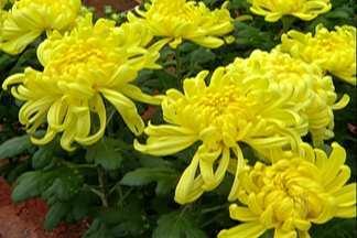No Alto Tietê, produtores de crisântemo se preparam para o Dia de Finados - Flor é a mais procurada no Dia de Finados.
