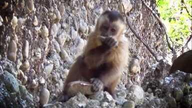 Macacos fazem 'ferramentas' como as de ancestrais do homem no Piauí - Pesquisadores observaram os animais por oito anos no Parque Nacional da Serra da Capivara. O estudo comparativo foi publicado na revista Nature.