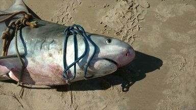 Tubarão é encontrado morto por pescadores de Itaúnas no ES - Três pescadores encontraram o tubarão preso nas redes de pesca.Animal com quase dois metros, pesava cerca de 150 quilos.