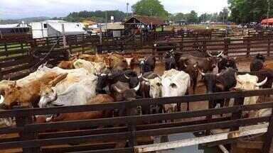 Proibição de vaquejadas aumenta cuidado com animais em rodeios gaúchos - Assista ao vídeo.