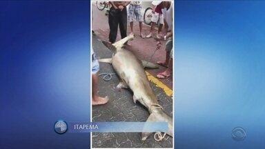Giro de notícias: tubarão-martelo de quase 100kg é capturado por pescadores em Itapema - Giro de notícias: tubarão-martelo de quase 100kg é capturado por pescadores em Itapema