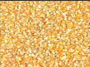 Preço do milho no mercado volta a subir; confira - Preço do milho no mercado volta a subir; confira
