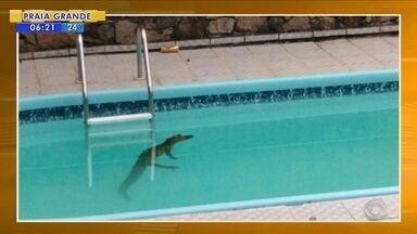 Jacaré é encontrado em piscina de residência em Florianópolis - Jacaré é encontrado em piscina de residência em Florianópolis