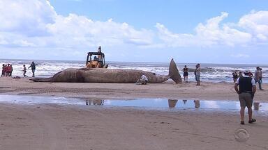 Baleia com cerca de 40 toneladas é encontrada morta na praia de Imbé - Animal da espécie baleia-de-Bryde encalhou na praia nesta quarta-feira (18).