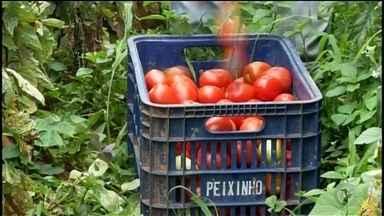"""'Super safra' de tomate faz fruta sobrar em propriedades de Ribeirão Branco - Produção de mais e consumo de menos. Esse é o dilema de quem trabalha com o cultivo de tomate em Ribeirão Branco (SP). Por causa da """"super safra"""", a oferta no mercado aumentou e o preço para venda diminuiu."""