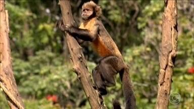 Medo de febre amarela faz moradores do Leste de MG matarem macacos - Especialistas alertam que os primatas não são causadores da doença. Matar os animais é um crime ambiental, passível de multas e até prisão.
