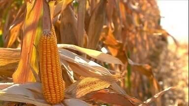 Produtividade da primeira safra de milho é considerada boa em MG e RS - Clima contribuiu para manter Minas Gerais como o maior produtor de milho da primeira safra. Rio Grande do Sul, também terá grande produção.