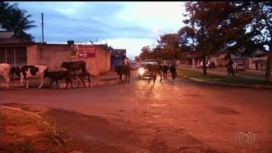 Carros precisam parar para boiada atravessar rua em Luziânia - Flagrante foi feito na Avenida Ouro Preto. Animais ainda pastaram no canteiro central da via.