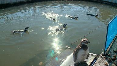Pinguins aparecem nas praias gaúchas e recebem tratamento de veterinários - Assista ao vídeo.