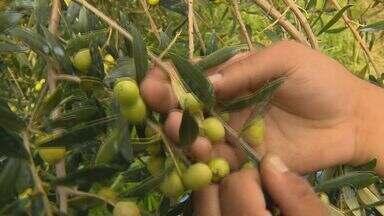 Produção de azeite pode ser recorde este ano em Delfim Moreira - Produção de azeite pode ser recorde este ano em Delfim Moreira