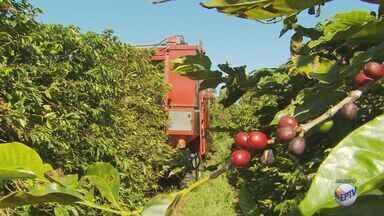 Risco de surto da praga broca do café preocupa produtores do Sul de Minas - Risco de surto da praga broca do café preocupa produtores do Sul de Minas
