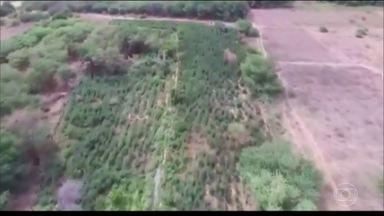 Mais de 300 mil pés de maconha são apreendidos em ilhas do Rio São Francisco - Segundo a PF, a plantação estava no meio de pés de mandioca e poderia gerar 120 toneladas da droga. Também foram apreendidas duas toneladas de maconha embaladas para venda.