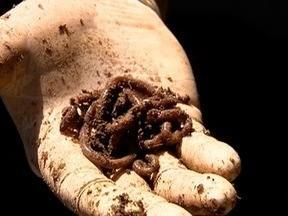 Adubação à base de minhoca tem se tornando opção de produtores - Humus faz com que a colheita seja livre de agrotóxico.