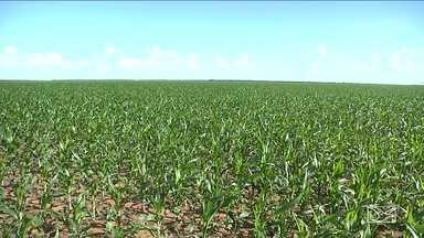 Produtores de milho estão animados com safra no sul do MA - Com o regime de chuvas regulares, o rendimento pode ficar acima do esperado e ajudar os agricultores a se recuperar dos prejuízos da safra passada.