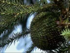 Produção de pinhão cresce na região norte do RS - Devido a grande oferta do produto, preço está mais baixo este ano