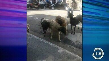 Cabras chamam atenção no centro de São José - Animais invadiram loja.
