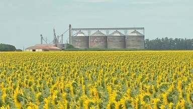 Lavouras de Girassol são atração em Campo Novo do Parecis - Lavouras de Girassol são atração em Campo Novo do Parecis (MT).
