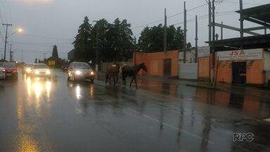 Cavalos são flagrados em rua de Guarapuava - Risco de acidentes em casos assim é grande.