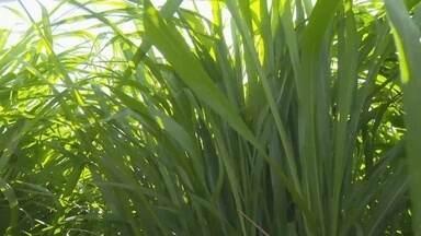 Plantação de capim em áreas secas ou alagadas é uma das novidades na Rondônia Rural Show - Sobram alternativas que certamente ajudam e muito no desenvolvimento de todos os aspectos da agricultura, a plantação de capim em áreas secas ou alagadas, por exemplo, é uma das novidades que estão na vitrine tecnológica da Rondônia Rural Show.