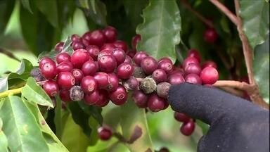 Chuva prejudica a colheita do café produzido no ES e em MG - Excesso de umidade nos grãos favorece o surgimento de fungos e afeta a qualidade da bebida.