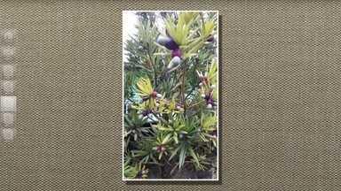Podocarpo produz frutos apreciados por sabiás e bem-te-vis - A espécie, também chamada de pinheiro-de-buda, pinheiro-bravo ou pinheirinho, geralmente é plantada junto aos muros, como cerva-viva, e em vasos e jardins.