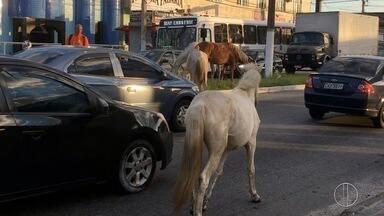 Cavalos são flagrados em avenida movimentada de Cabo Frio, no RJ - Eles foram recolhidos pela Prefeitura de Cabo Frio, RJ, e levados para a fazenda de Campos Novos.