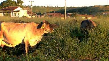 Chuva volta a cair em Itapetinga e gado começa a se recuperar, após quase 5 anos de seca - Estiagem prolongada provocou a morte de mais de 170 mil animais no município.