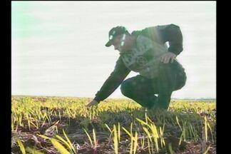 Cultivo de aveia ganha espaço nas lavouras da região - Produtores torcem por chuvas regulares para ajudar o desenvolvimento das plantas.