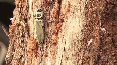 Prefeitura de Belo Horizonte retira árvores com infestação do besouro metálico - As árvores, que estavam comprometidas, foram retiradas da Avenida Uruguai, no Sion. O besouro pode causar queda de espécies de plantas e colocar em risco a população.