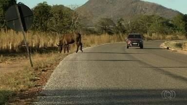 Sete pessoas morreram em 2017 em acidentes envolvendo animais em rodovias de Goiás - Donos dos animais podem responder por homicídio.