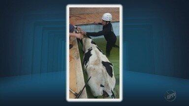 Vaca cai em uma piscina na zona rural de Ubá (MG) - Vaca cai em uma piscina na zona rural de Ubá (MG)
