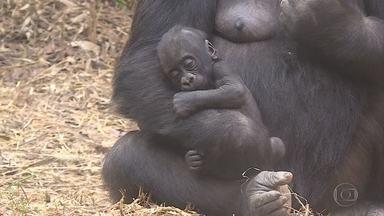 Nome de novo gorilinha do Zoo de BH será escolhido por votação na internet - Ele tem três meses e é macho