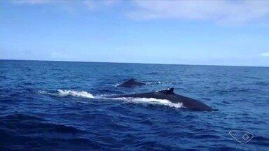 Pescador registra cerca de 30 baleias jubarte acompanhando barco no Norte do ES - O vídeo foi feito pelo pescador Josiamar Lopes.