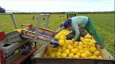Lavouras de melão estão em plena colheita no RN - O melão produzido no estado abastece o mercado brasileiro durante o ano todo.Rio Grande do Norte produz mais da metade do melão nacional.
