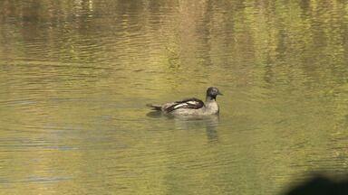 Ações para salvar o pato-mergulhão - Uma das aves mais ameaçadas do mundo desafia os pesquisadores.