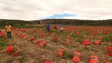 Produção de cebola gera trabalho e renda em Irecê - Trabalhadores rurais comemoram o bom progresso com a produção da hortaliça.