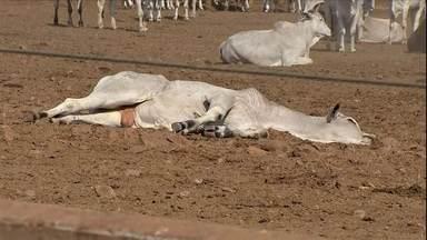 Exames confirmam que botulismo é causa da morte de mil animais - O caso aconteceu em um confinamento, na região centro-oeste do MS. As imagens chocam pela quantidade de animais mortos.