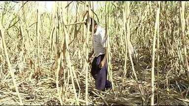 Guaxinins atacam plantações de cana e deixam produtores no prejuízo - Guaxinins atacam plantações de cana e deixam produtores no prejuízo