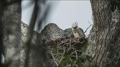 Ninho com filhote de gavião-real é registrado, pela 1ª vez, em reserva de Sooretama - Ave dificilmente é avistada em boa parte do Brasil e é a maior águia da América do Sul.