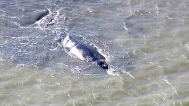 Outra baleia jubarte encalha no litoral do Rio - Animal encalhou na Baía de Sepetiba