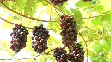 Produtores de Jales comemoram preço da uva sem sementre praticado no mercado - A região de Jales (SP) é uma das maiores produtoras de uva do Estado. A variedade sem semente nasceu na região, depois de 30 anos de pesquisa. Os produtores estão comemorando porque elas são vendidas pelo dobro do preço das com sementes.