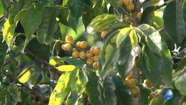 Cafeicultores têm até o dia 12 de setembro para se inscrever em concurso nacional - Confira as dicas do Bahia Rural.