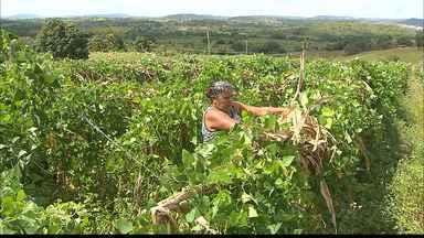 'Paraíba Rural' fala sobre produção de fava em Alagoa Grande - Quadro visita um dos maiores produtores do município, que recebe assistência técnica da Emater há 61 anos.