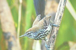 ONG apresenta estudo de ave em Guararema - Bicudinho do Brejo é ave típica da cidade.