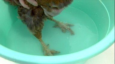 Sarna que ataca os pés das galinhas pode ser tratada - Para evitar que o problema volte a acontecer, mantenha o ambiente limpo e as galinhas bem nutridas. Esse tipo de sarna não passa para o ser humano.