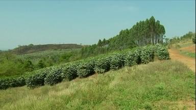 Produtores de café do sul de Minas Gerais estão otimistas com a safra do café - Os cafezais do sul de Minas estão floridos. A tão aguardada chuva finalmente chegou e as flores podem ser o anúncio de que vem safra boa pela frente.