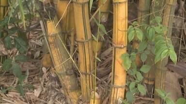Seminário discute plantação de bambu no Acre - São mais de quatro milhões de hectares no estado, é a maior plantação do mundo.
