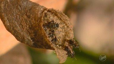 Regiões de Campinas e Piracicaba têm maior número de ataques de abelha no estado em 2017 - Situação tende a piorar na primavera; entenda.